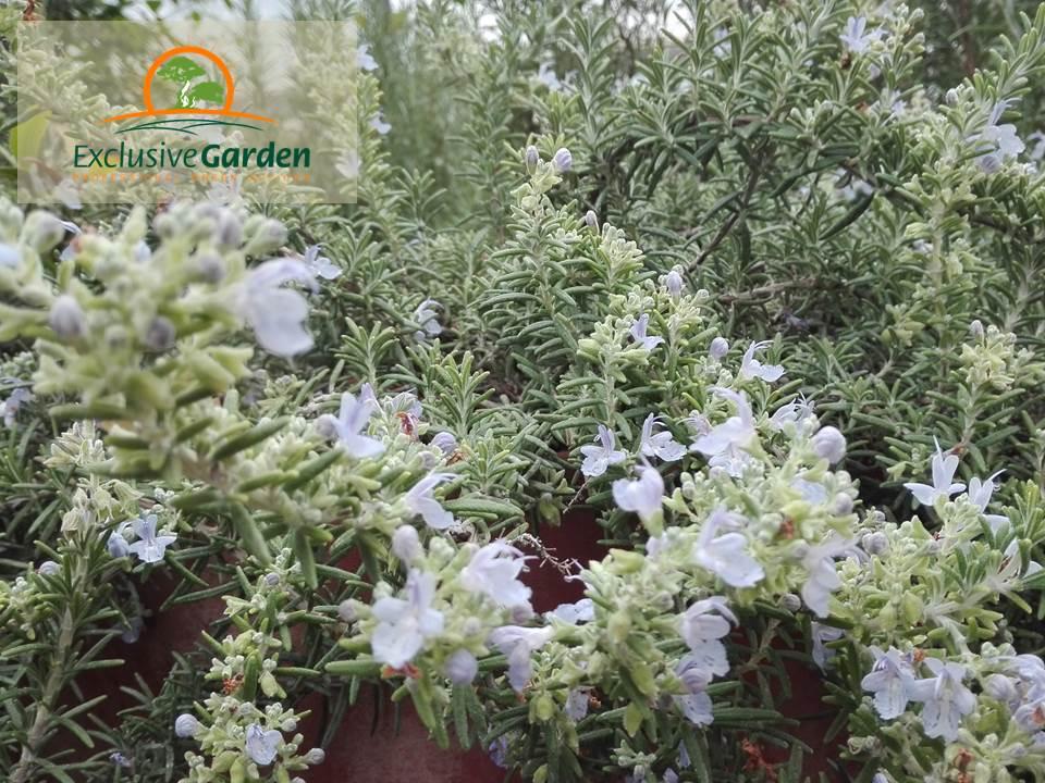 Flori aromatice